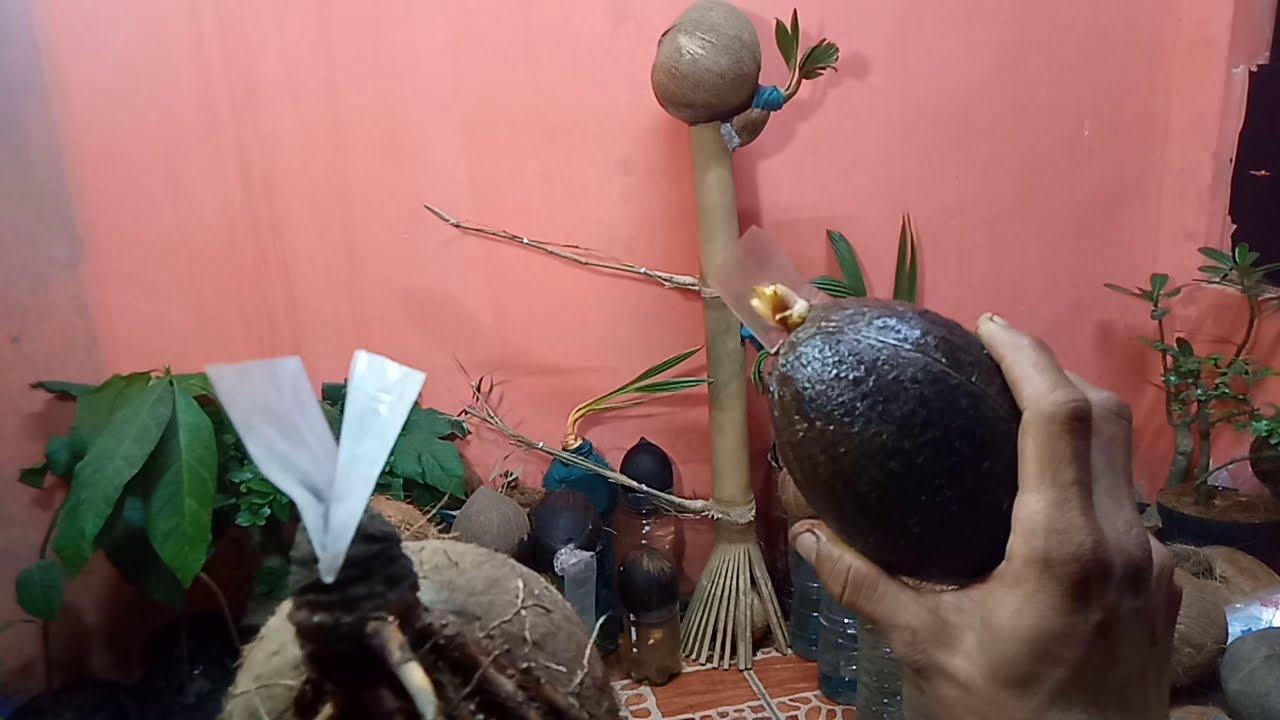 Cara Praktis Penguapan Calon Bonsai Kelapa By Teuku Rizal Dc