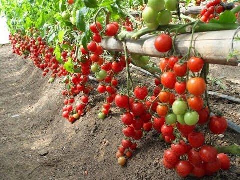 Как растут помидоры в Европе Mini СHERRY - YouTube