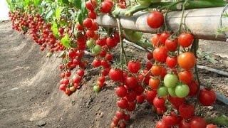 Как растут помидоры в Европе Mini СHERRY