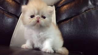 Exotic persian kitten Cris p. Bacon at 3weeks old