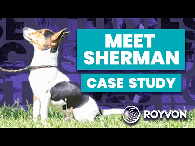 Sherman Case Study ❘ Jack Russell struggles to focus