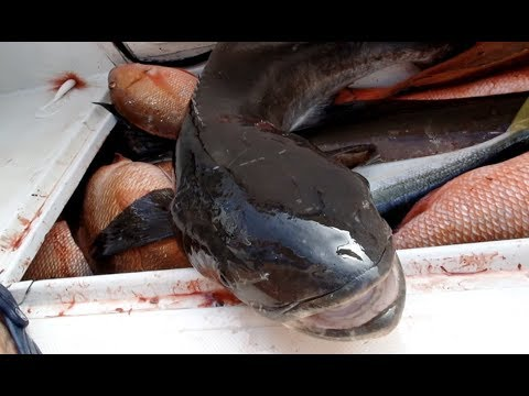 BOAT LIMIT OF COBIA WHILE BIG SNAPS WERE CHEWING!!! | COMMERCIAL FISHING FLORIDA