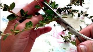видео Кизильник горизонтальный Cotoneaster horizontalis