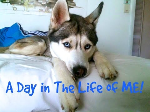 A Day in The Life Of A Husky! (Vlog Version)