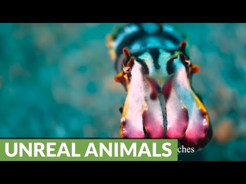 Flamboyant Cuttlefish Eggs Hatch For The Camera