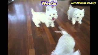 West Highland Terrier, Puppies, For, Sale, In, Portland, Maine, Me, Brunswick, Waterville, Westbrook