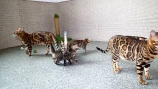 Dakota Gold, официальный питомник бенгальской кошки, после ремонта, часть 4