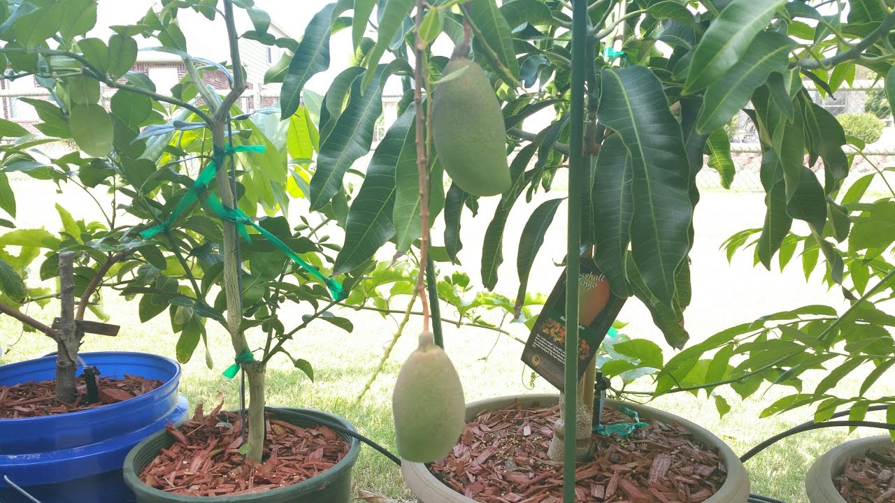 Fruiting Cogshall Mango Tree In Container Youtube