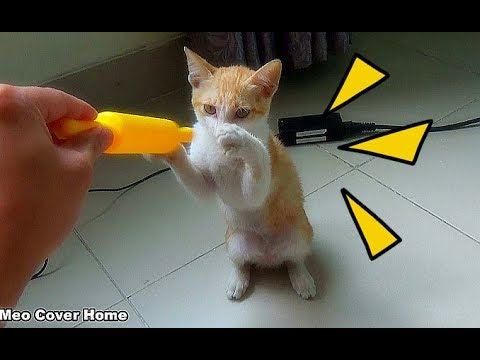 Cat Playing With Toy Funny And Crazy | Funny Cat Vines 2017 | Meo Cover Home