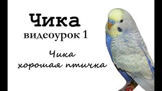 """🎤 Учим попугая по имени Чика говорить, видеоурок 1: """"Чика хорошая птичка"""""""