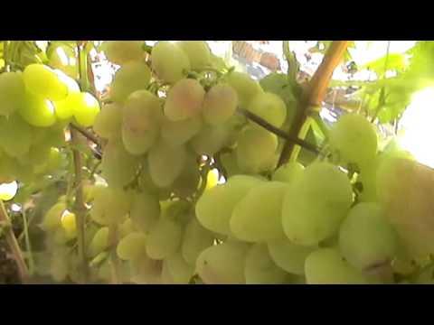 Сорта винограда с красной и розовой ягодой