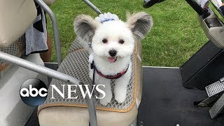 Meet this adorable dog with ears like Mickey Mouse