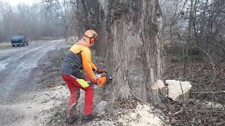 Felling large tree- ms 461-75 cm