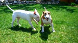 English Bull Terriers Wrestling With Each Other