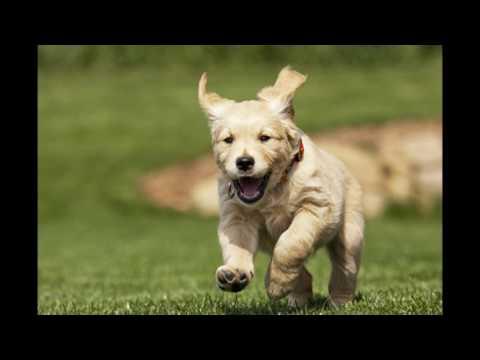 animals Golden Retriever Dog Breed Information