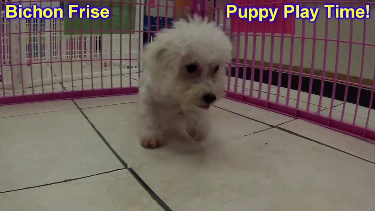 Bichon Frise, Puppies, Dogs, For Sale, In Memphis, Tennessee, TN,  19Breeders, Chattanooga, Franklin