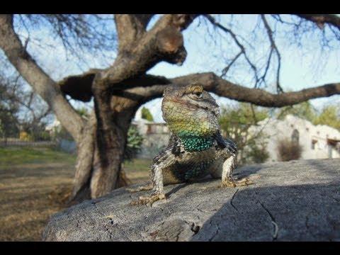 Wild Desert Spiny Lizard Cruz Accepts a Hand
