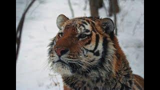 Охотнадзор ловит тигрицу в Алексей-Никольском