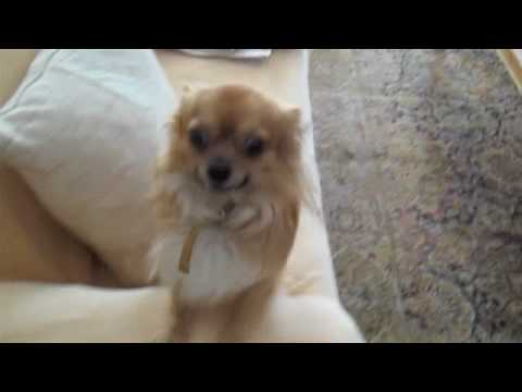 Mouris - the long haired Chihuahua
