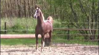 ASB x DHH stallion (Sir William Robert x Hendo)