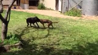 Gsd X Staffy Playing With German Short-haired Pointer