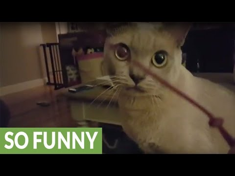 Cat plays fetch - just like a dog!