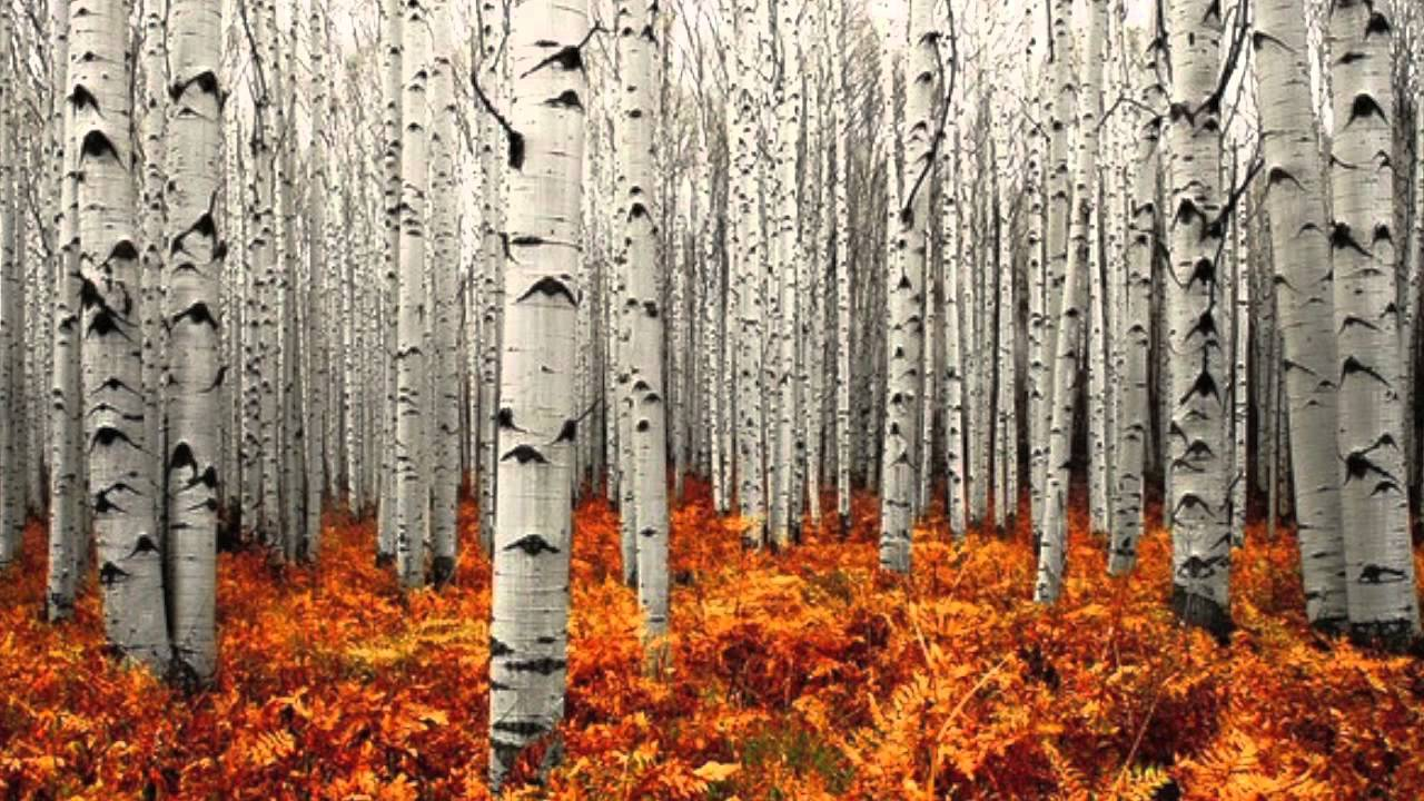 Colorado Fall Wallpaper Temperate Deciduous Forest Youtube
