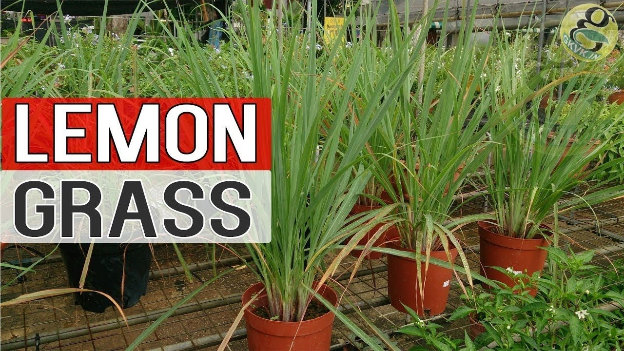 Lemon Grass Plant Grow Care Repot And Benefits Health Herbal Medicinal Natural Remedies