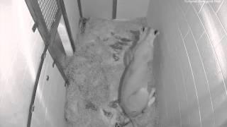 Live Lion Cub Births March 2, 2014 (Viewer Discretion Advised)
