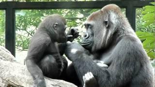 2011.10.02撮影 上野動物園のアイドル、ゴリラのコモモちゃん。 (200...
