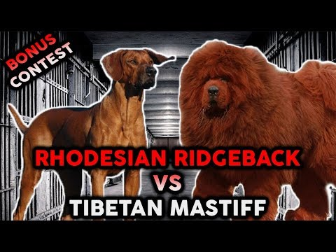 RHODESIAN RIDGEBACK VS TIBETAN MASTIFF! The Best Guard Dog Breed!