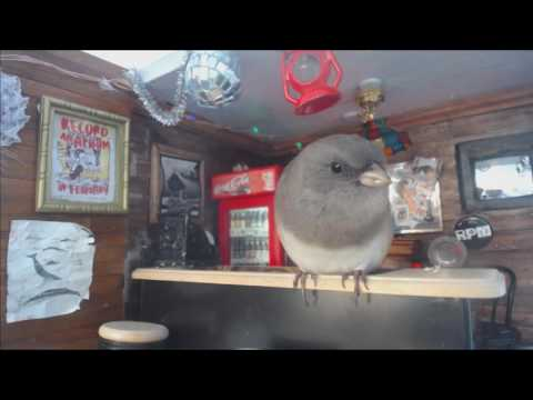 Female dark-eyed junco defends miniature bar from dirty chickadees, falls asleep on the job