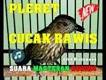 Suara Masteran Burung Pleret Cucak Rawis Gacor Nembak Tajam  Mp3 - Mp4 Download