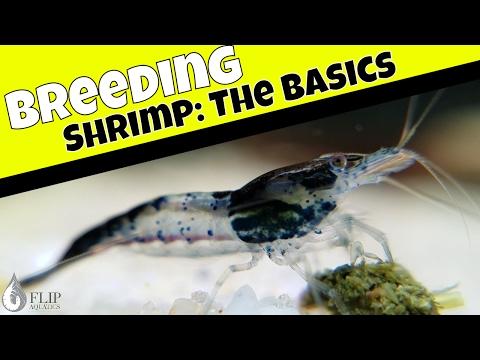 How to Breed Freshwater Shrimp - The Basic to Keeping Shrimp