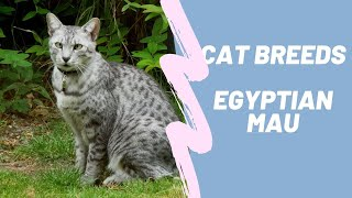EGYPTIAN MAU  CAT BREEDS