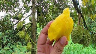 Nhặt Sầu riêng rụng gốc ăn ngay tại Vườn không nhúng thuốc ngon không tưởng