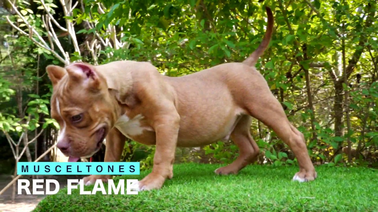 EXPERTASIA BULLY CAMP - American Bully Dogs - Chiang Mai