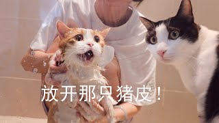 [Cat Live] Zhupi was forced to take a shower and Brother Fen is so shocked!