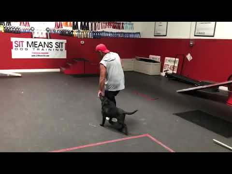 Puppy Training - Heeling and agility dog walk