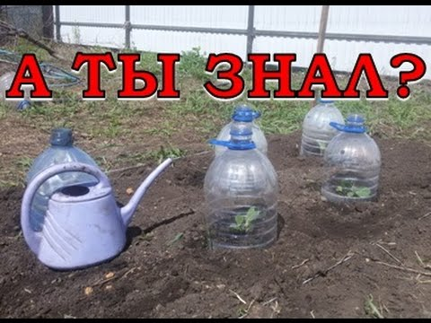 КАПУСТА: сажаем в грунт пошагово
