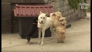 Two Boy Dogs Fight Over A Beautiful Girl Dog | Kritter Klub