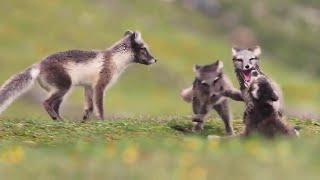 Newborn Arctic Fox puppies playing - super cute!