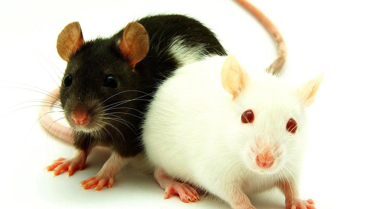 Fancy rats as pets - photo#35