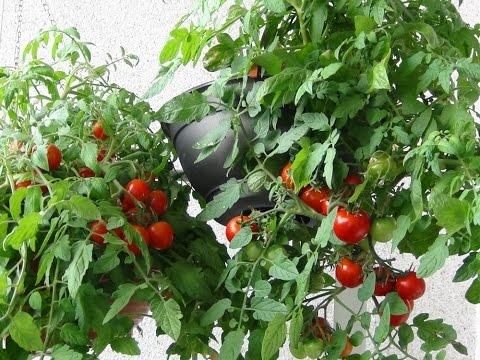 Pomidorai balkone