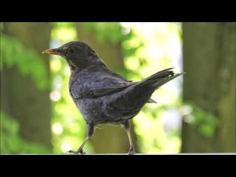 🦃Doğada Kuş Sesi🦃Karatavuk Kuşu 🦃Blackbird🦃Huzur Veren Kuş Sesleri