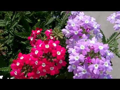 294   Blooming VERBENA In My Small Garden (14/2/17)
