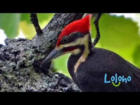Pileated Woodpecker Calls and Drums - ONE HOUR LOOP