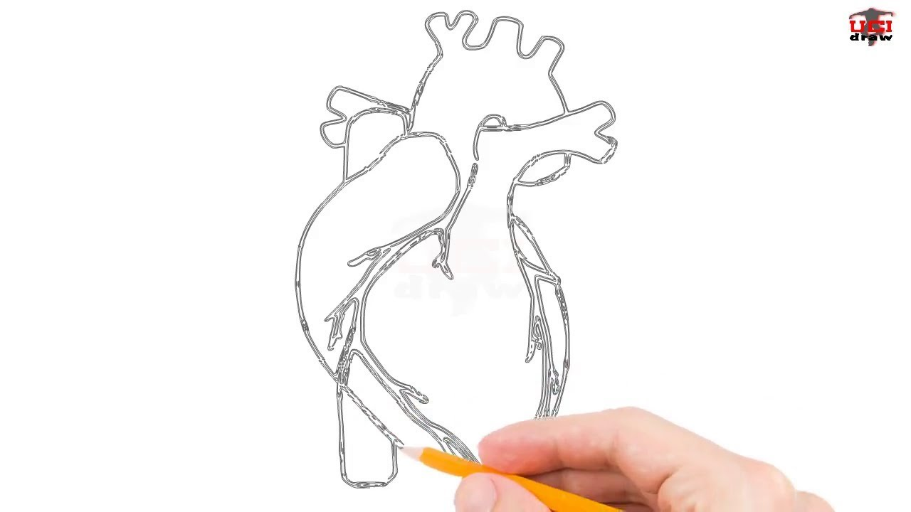 How to Draw Human Heart Step by Step Easy for Beginners ...