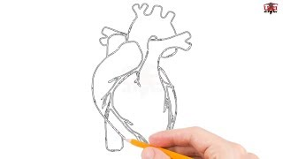 heart human drawing simple sketch realistic easy draw anatomical diagram pencil drawings step paintingvalley beginners tutorial clipartmag colorful sketches