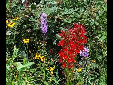 How to Start and Grow Blazing Star from Seeds (Liatris Spicata)